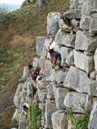 Goats on quarry wall